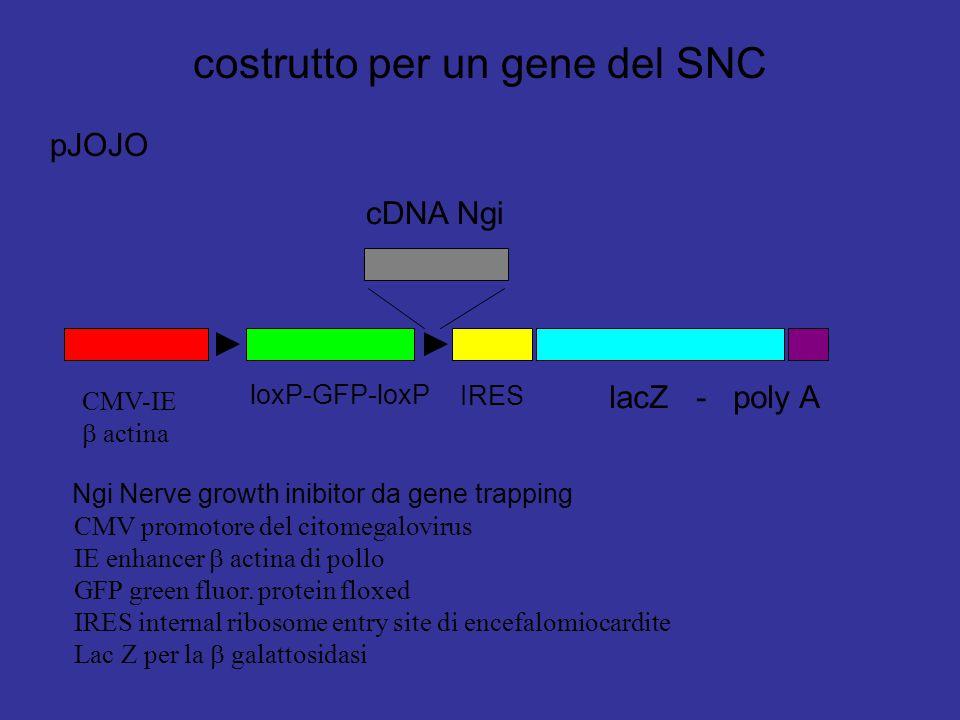 costrutto per un gene del SNC pJOJO CMV-IE  actina loxP-GFP-loxP IRES lacZ - poly A cDNA Ngi Ngi Nerve growth inibitor da gene trapping CMV promotore