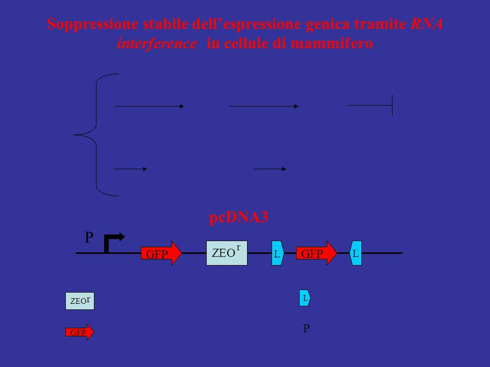 P GFP ZEO r L L Gene per la resistenza alla zeocina; ZEO r GFP Le prime 500 bp codificanti di enhanced gr. fluor. prot. EGFP; L Lox P; P Promotore di