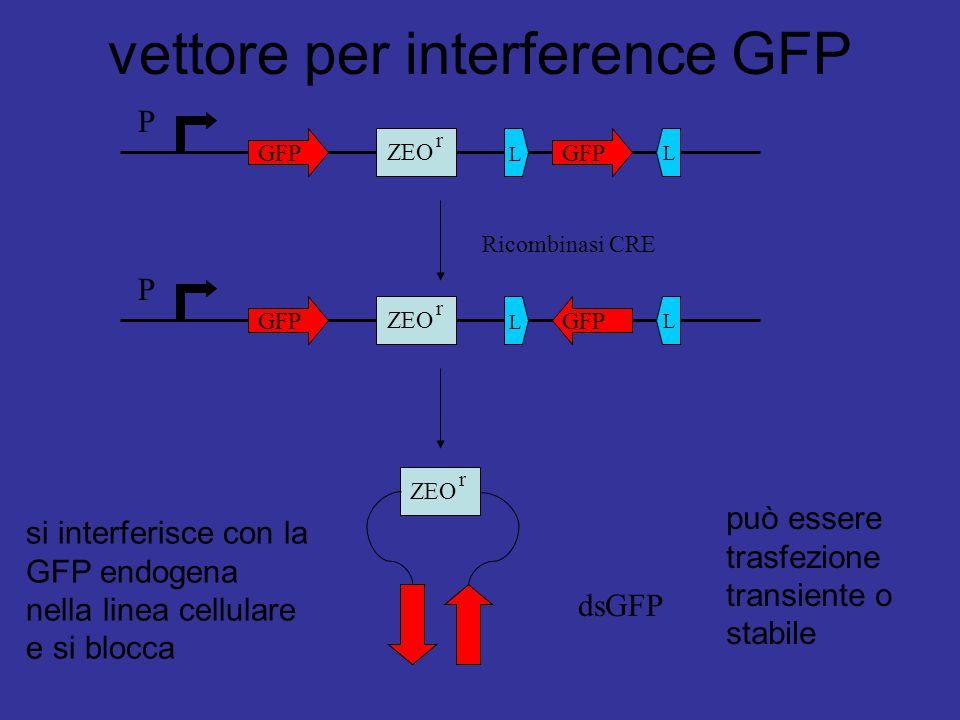P GFP ZEO r L L P GFP ZEO r L L Ricombinasi CRE ZEO r dsGFP si interferisce con la GFP endogena nella linea cellulare e si blocca può essere trasfezio
