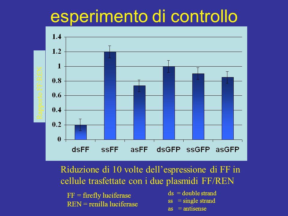 Rapporto FF:REN Riduzione di 10 volte dell'espressione di FF in cellule trasfettate con i due plasmidi FF/REN FF = firefly luciferase REN = renilla lu
