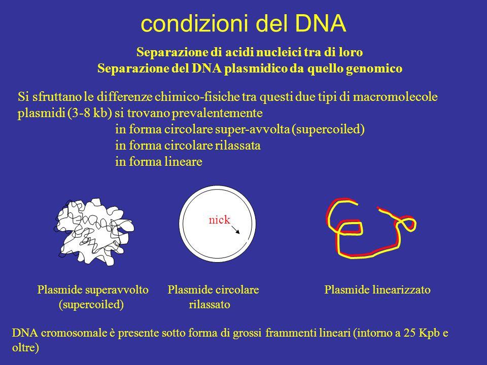 condizioni del DNA Si sfruttano le differenze chimico-fisiche tra questi due tipi di macromolecole plasmidi (3-8 kb) si trovano prevalentemente in for