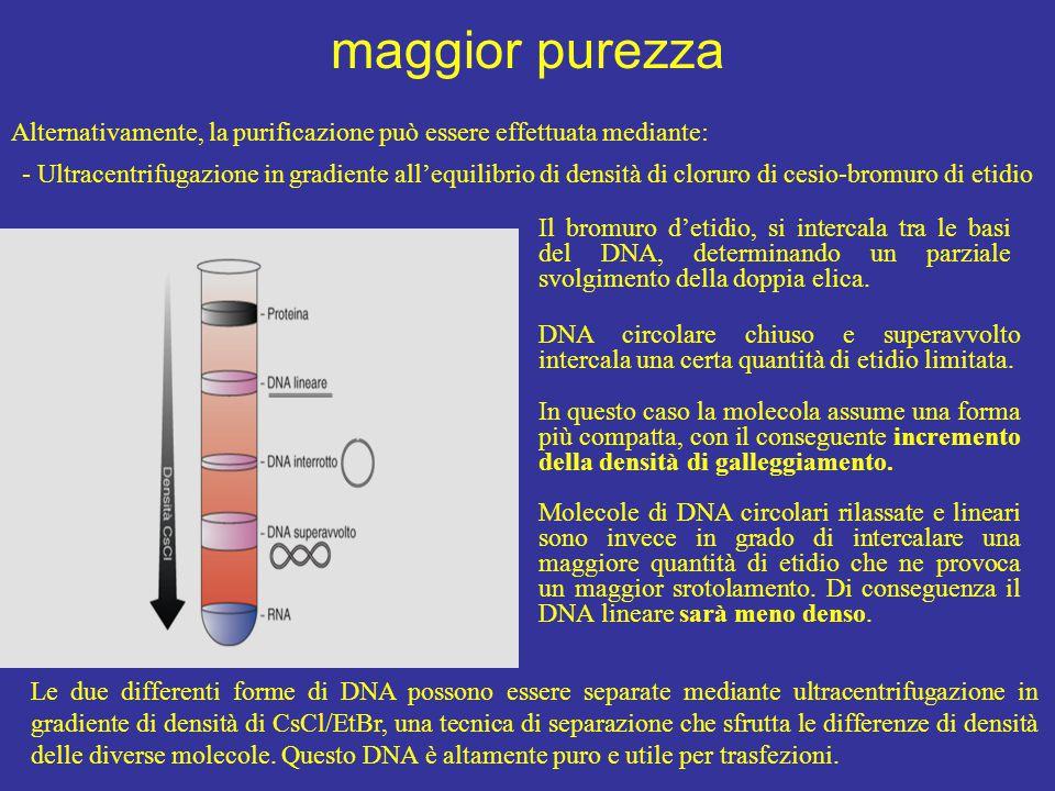 maggior purezza Alternativamente, la purificazione può essere effettuata mediante: - Ultracentrifugazione in gradiente all'equilibrio di densità di cloruro di cesio-bromuro di etidio Il bromuro d'etidio, si intercala tra le basi del DNA, determinando un parziale svolgimento della doppia elica.