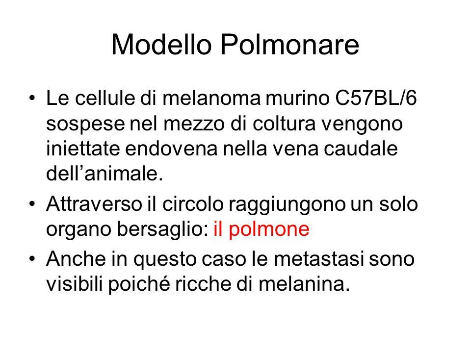 Modello Polmonare Le cellule di melanoma murino C57BL/6 sospese nel mezzo di coltura vengono iniettate endovena nella vena caudale dell'animale. Attra