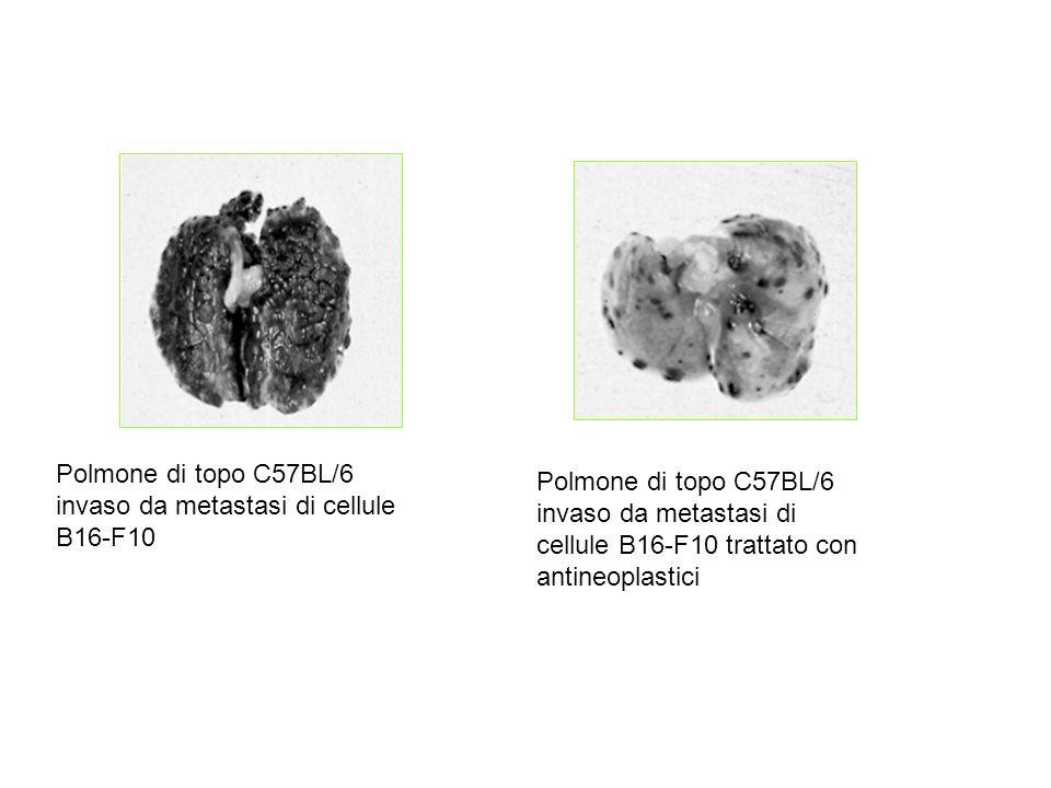 Polmone di topo C57BL/6 invaso da metastasi di cellule B16-F10 Polmone di topo C57BL/6 invaso da metastasi di cellule B16-F10 trattato con antineoplas