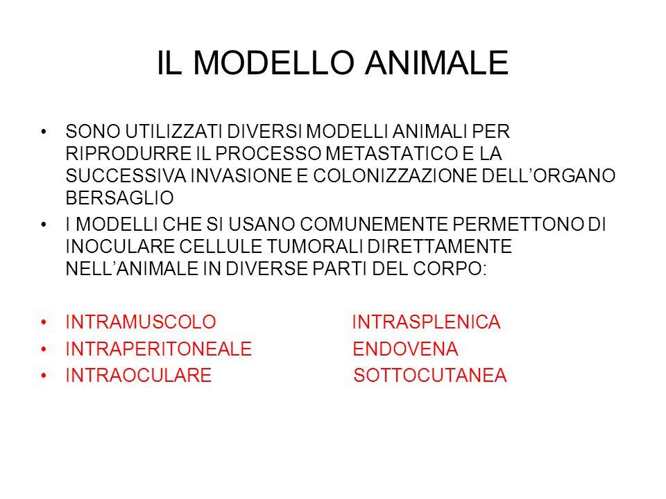 IL MODELLO ANIMALE SONO UTILIZZATI DIVERSI MODELLI ANIMALI PER RIPRODURRE IL PROCESSO METASTATICO E LA SUCCESSIVA INVASIONE E COLONIZZAZIONE DELL'ORGA