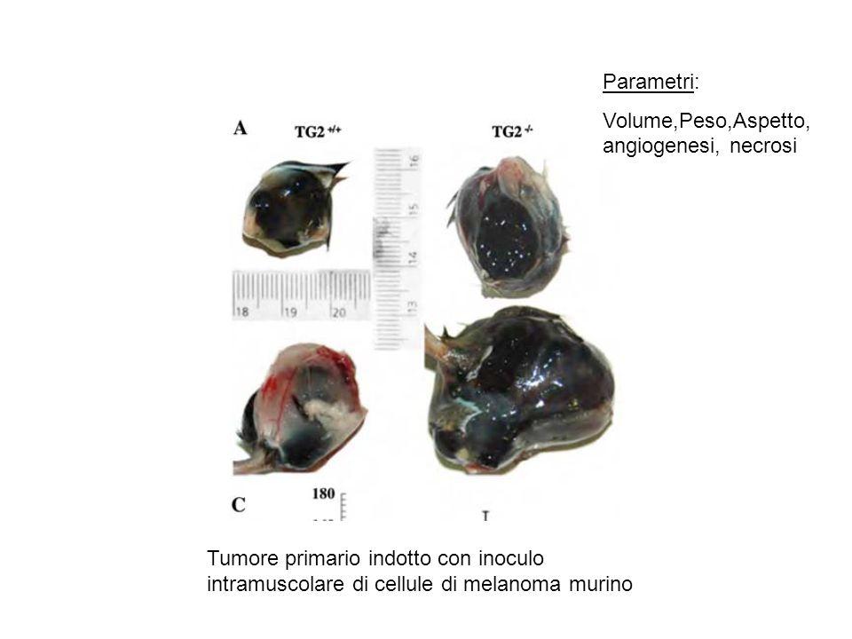Tumore primario indotto con inoculo intramuscolare di cellule di melanoma murino Parametri: Volume,Peso,Aspetto, angiogenesi, necrosi