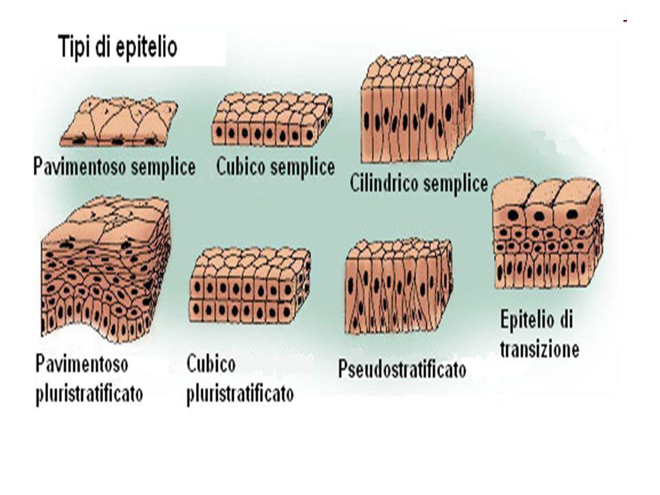 Tessuto ghiandolare