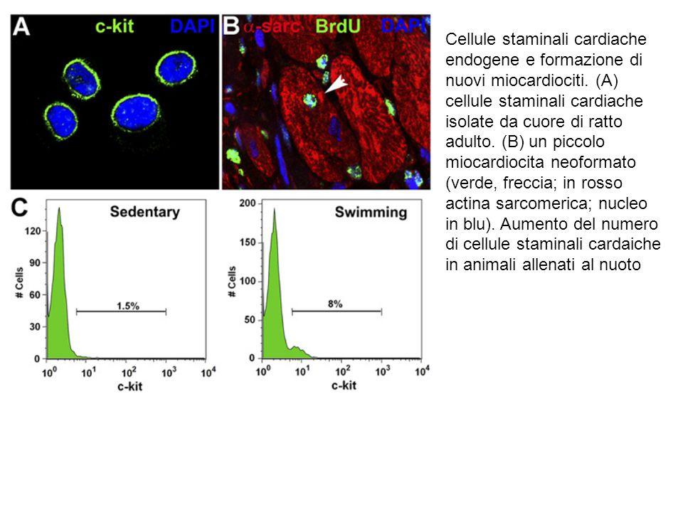 Cellule staminali cardiache endogene e formazione di nuovi miocardiociti. (A) cellule staminali cardiache isolate da cuore di ratto adulto. (B) un pic