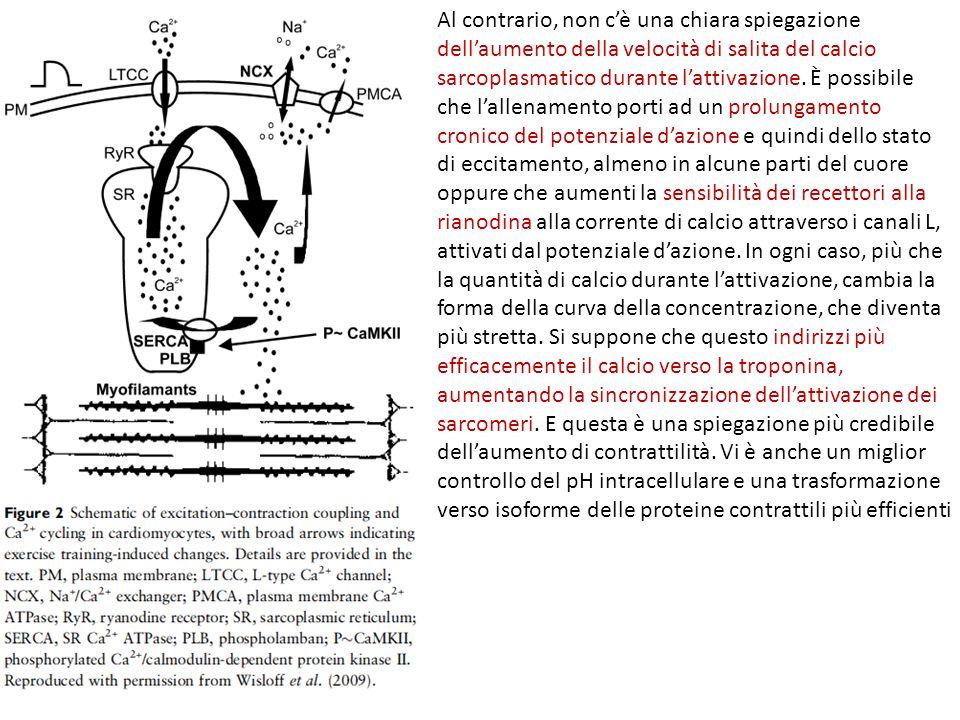Al contrario, non c'è una chiara spiegazione dell'aumento della velocità di salita del calcio sarcoplasmatico durante l'attivazione. È possibile che l