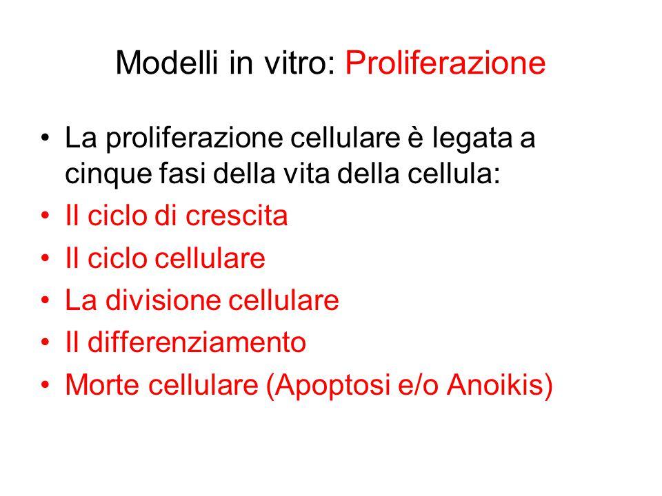 Modelli in vitro: Proliferazione La proliferazione cellulare è legata a cinque fasi della vita della cellula: Il ciclo di crescita Il ciclo cellulare