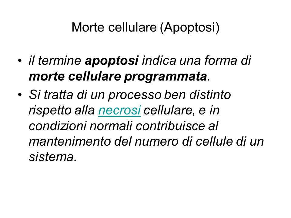 Morte cellulare (Apoptosi) il termine apoptosi indica una forma di morte cellulare programmata. Si tratta di un processo ben distinto rispetto alla ne