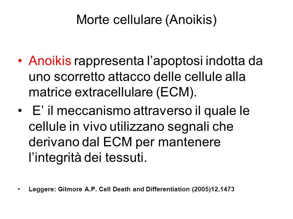 Morte cellulare (Anoikis) Anoikis rappresenta l'apoptosi indotta da uno scorretto attacco delle cellule alla matrice extracellulare (ECM). E' il mecca