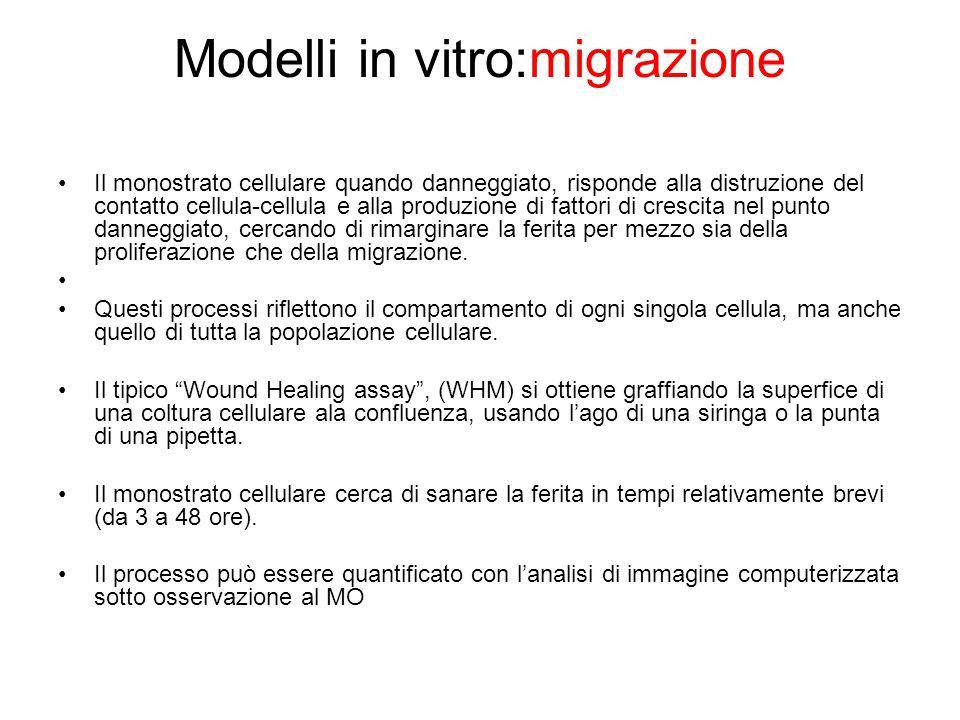 Modelli in vitro:migrazione Il monostrato cellulare quando danneggiato, risponde alla distruzione del contatto cellula-cellula e alla produzione di fa