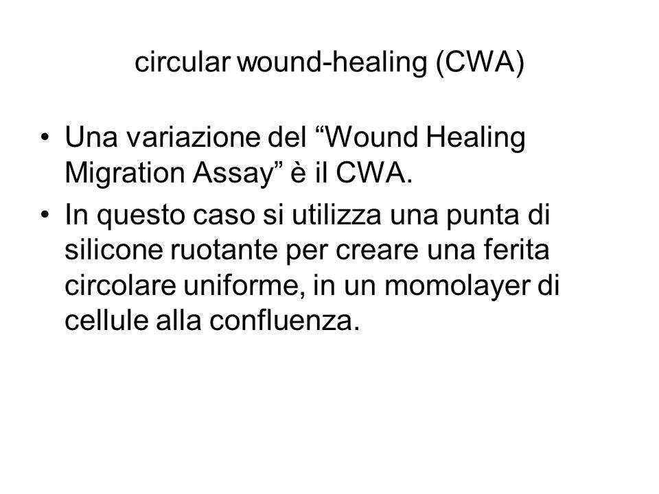 """circular wound-healing (CWA) Una variazione del """"Wound Healing Migration Assay"""" è il CWA. In questo caso si utilizza una punta di silicone ruotante pe"""
