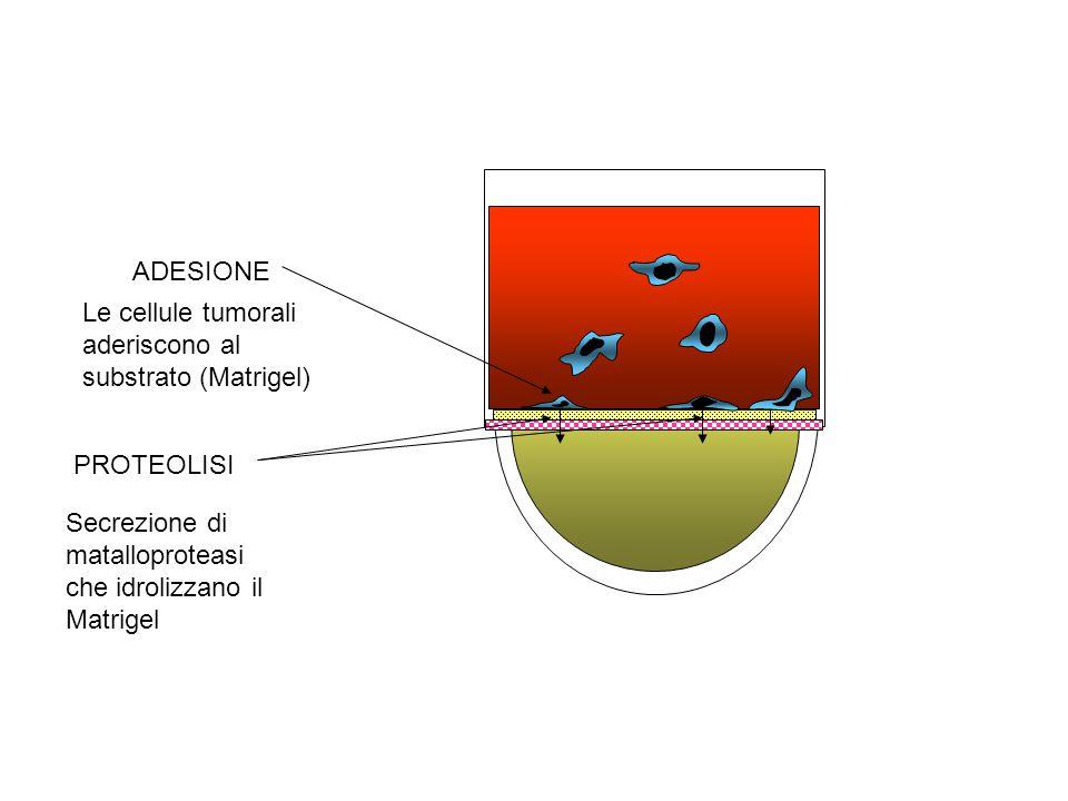 ADESIONE Le cellule tumorali aderiscono al substrato (Matrigel) PROTEOLISI Secrezione di matalloproteasi che idrolizzano il Matrigel