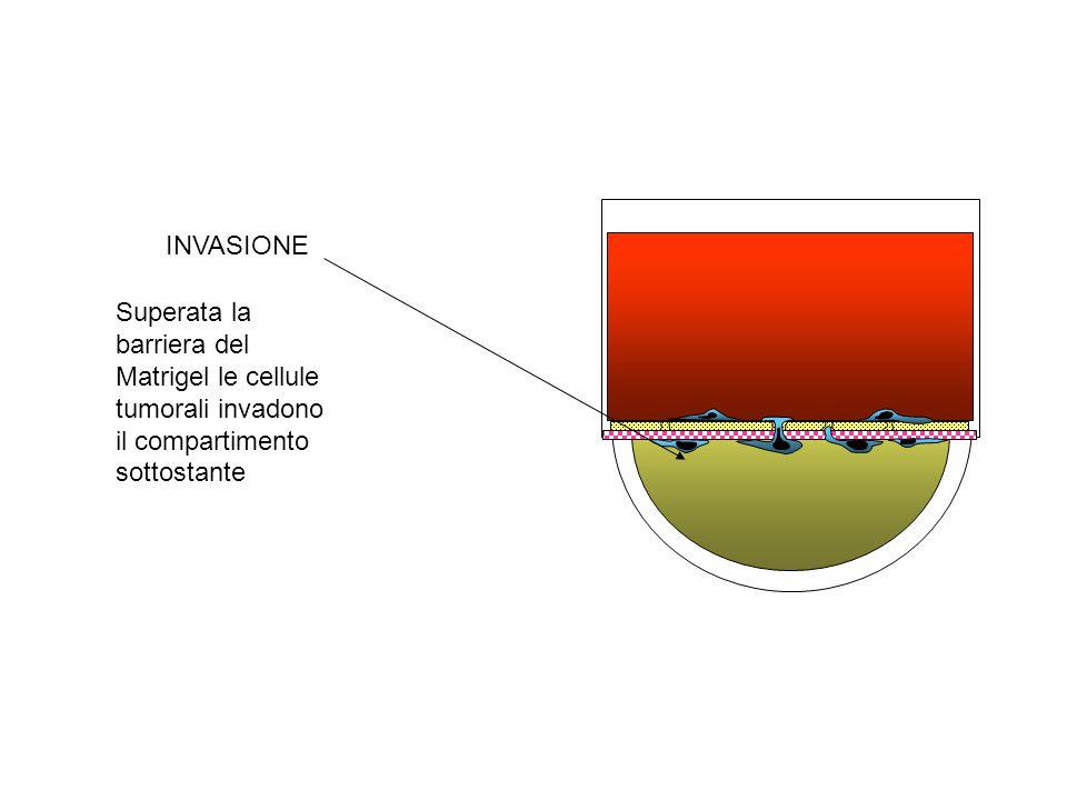 Adesione e sedi vascolari La selettività per specifiche sedi vascolari è legata ai meccanismi di adesione alle pareti vasali.