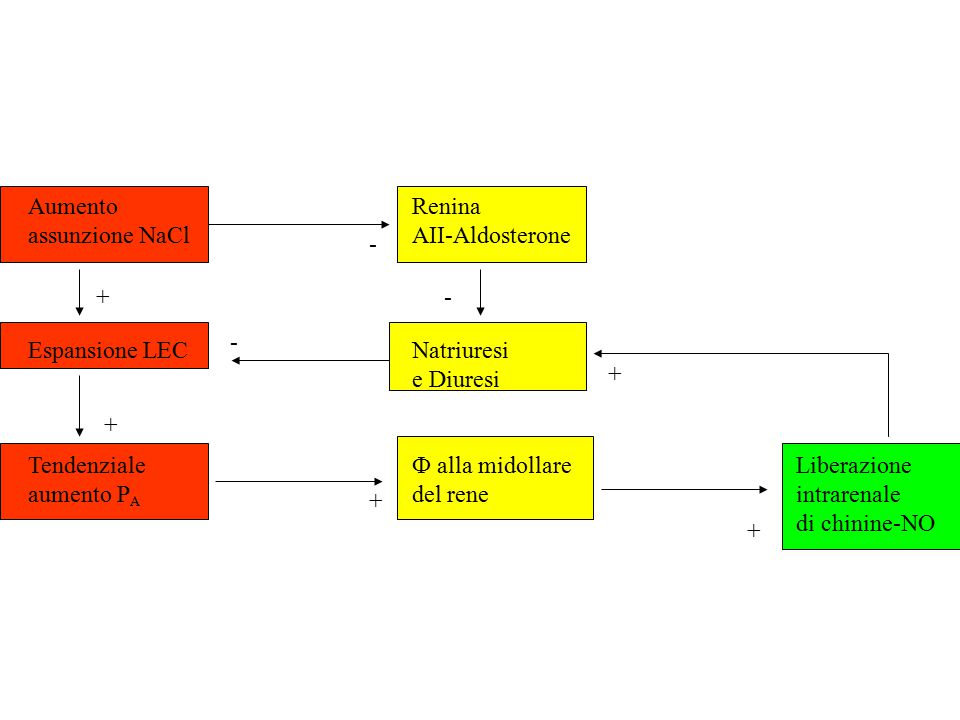 AumentoRenina assunzione NaClAII-Aldosterone Espansione LECNatriuresi e Diuresi Tendenziale Ф alla midollareLiberazione aumento P A del reneintrarenale di chinine-NO + + + + + - - -