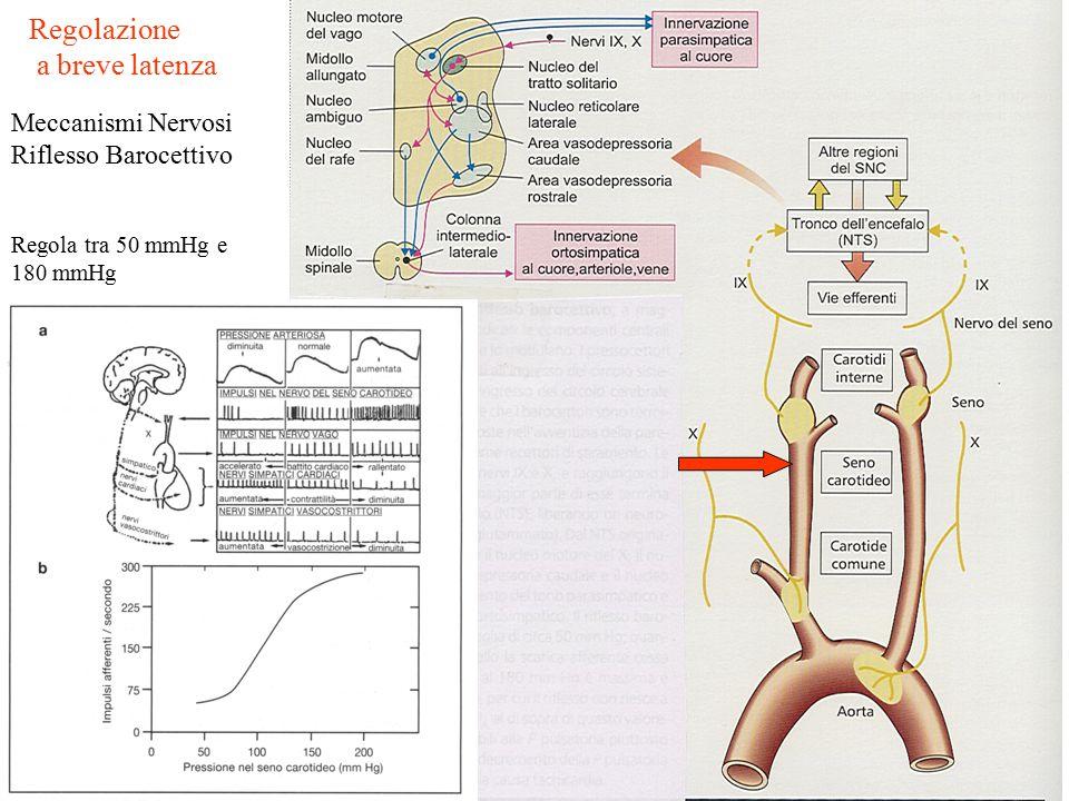 Meccanismi Nervosi Riflesso Barocettivo Regolazione a breve latenza Regola tra 50 mmHg e 180 mmHg