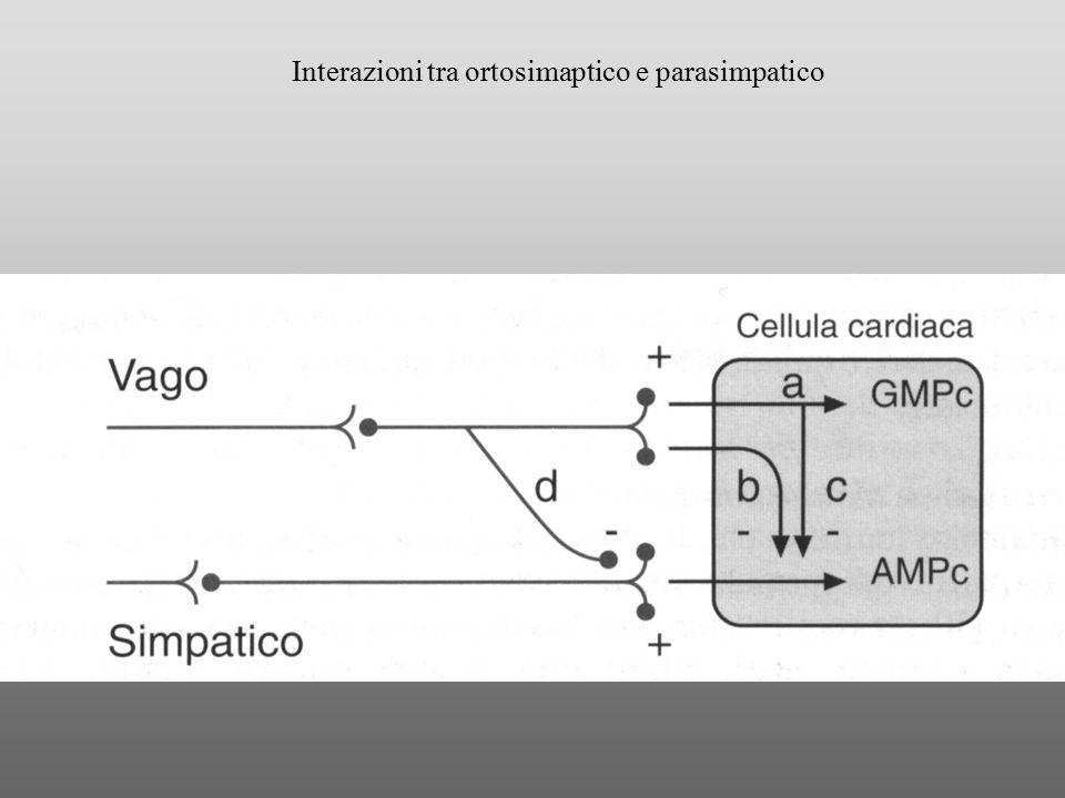 Interazioni tra ortosimaptico e parasimpatico