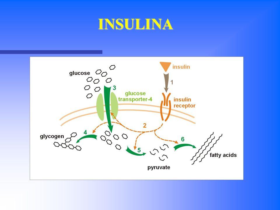 GLUT-4 A livello del muscolo striato il glucosio è assunto attraverso GLUT-4 e trasformato in glicogeno muscolare con l'attivazione della glicogeno sintetasi.