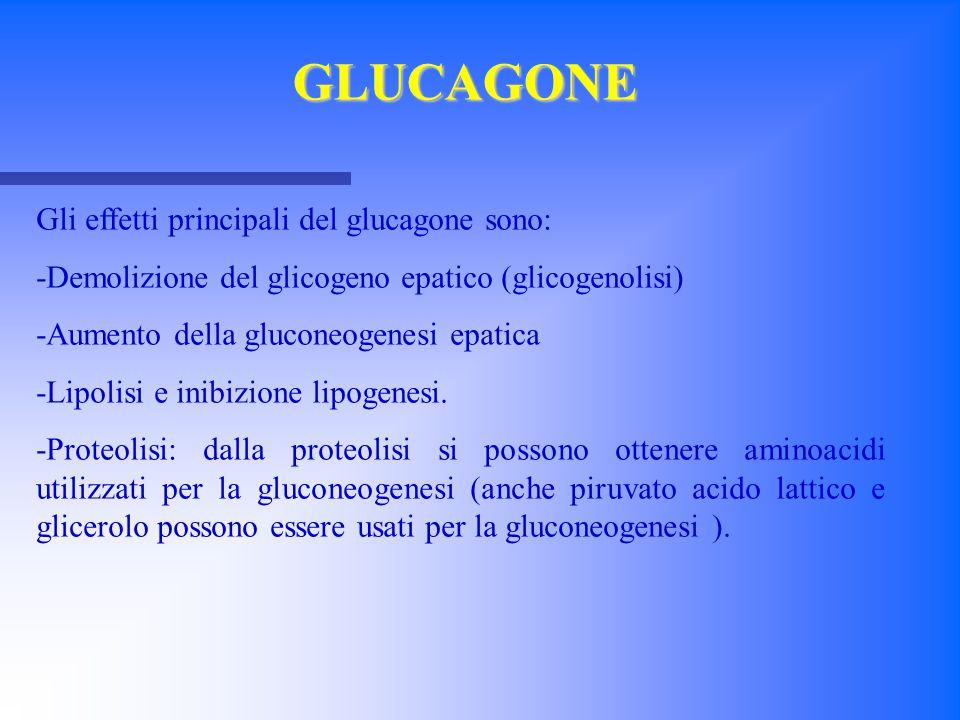 Gli effetti principali del glucagone sono: -Demolizione del glicogeno epatico (glicogenolisi) -Aumento della gluconeogenesi epatica -Lipolisi e inibiz