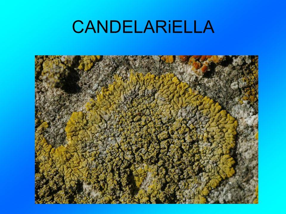 COSA ABBìAMO FATTO ìN ìTALìANO I licheni sono a stretta alleanza fra un fungo e un alga verde.