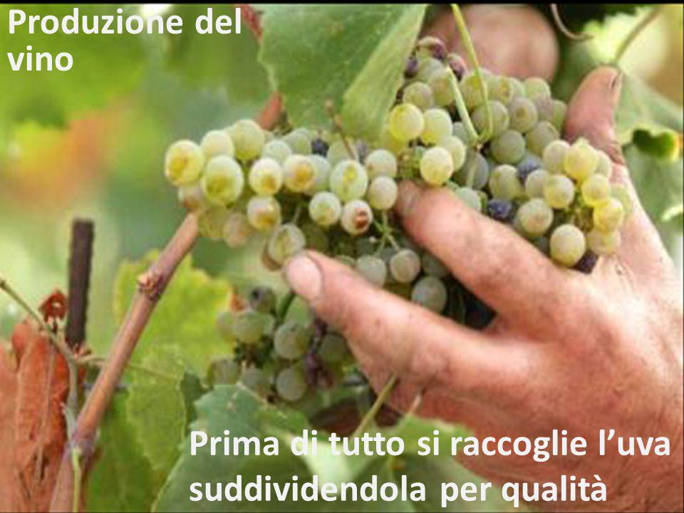 Prima di tutto si raccoglie l'uva suddividendola per qualità Produzione del vino