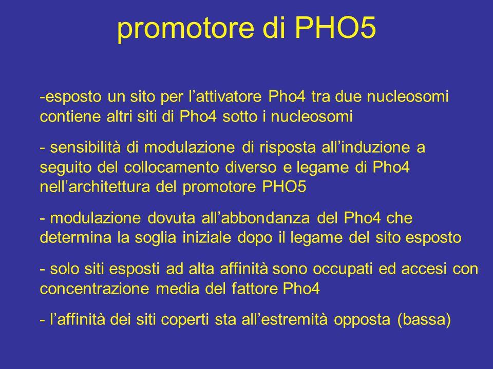 promotore di PHO5 -esposto un sito per l'attivatore Pho4 tra due nucleosomi contiene altri siti di Pho4 sotto i nucleosomi - sensibilità di modulazione di risposta all'induzione a seguito del collocamento diverso e legame di Pho4 nell'architettura del promotore PHO5 - modulazione dovuta all'abbondanza del Pho4 che determina la soglia iniziale dopo il legame del sito esposto - solo siti esposti ad alta affinità sono occupati ed accesi con concentrazione media del fattore Pho4 - l'affinità dei siti coperti sta all'estremità opposta (bassa)