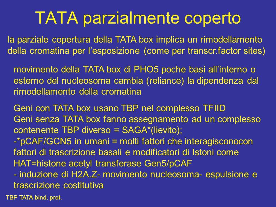 TATA parzialmente coperto la parziale copertura della TATA box implica un rimodellamento della cromatina per l'esposizione (come per transcr.factor sites) movimento della TATA box di PHO5 poche basi all'interno o esterno del nucleosoma cambia (reliance) la dipendenza dal rimodellamento della cromatina Geni con TATA box usano TBP nel complesso TFIID Geni senza TATA box fanno assegnamento ad un complesso contenente TBP diverso = SAGA*(lievito); -*pCAF/GCN5 in umani = molti fattori che interagisconocon fattori di trascrizione basali e modificatori di Istoni come HAT=histone acetyl transferase Gen5/pCAF - induzione di H2A.Z- movimento nucleosoma- espulsione e trascrizione costitutiva TBP TATA bind.