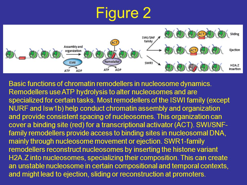 Figure 2 Basic functions of chromatin remodellers in nucleosome dynamics. Remodellers use ATP hydrolysis to alter nucleosomes and are specialized for
