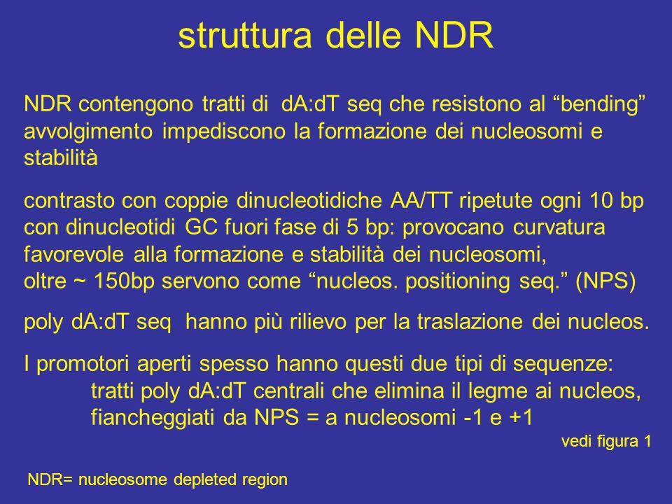 struttura delle NDR NDR= nucleosome depleted region NDR contengono tratti di dA:dT seq che resistono al bending avvolgimento impediscono la formazione dei nucleosomi e stabilità contrasto con coppie dinucleotidiche AA/TT ripetute ogni 10 bp con dinucleotidi GC fuori fase di 5 bp: provocano curvatura favorevole alla formazione e stabilità dei nucleosomi, oltre ~ 150bp servono come nucleos.