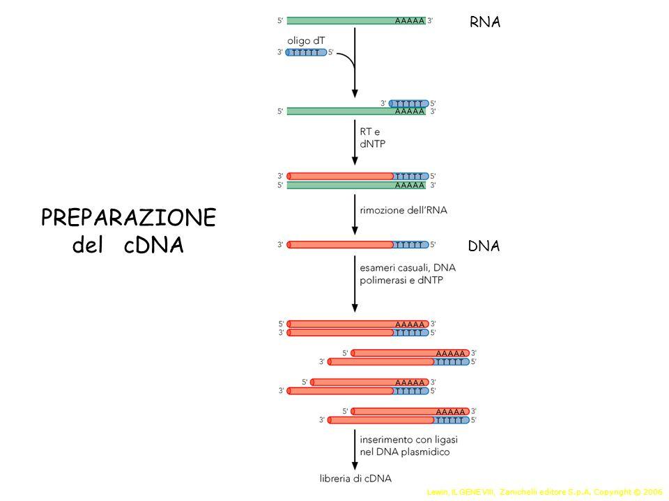 PREPARAZIONE del cDNA RNA DNA
