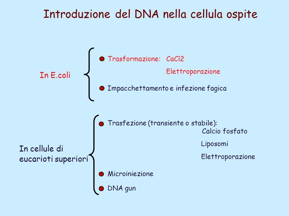 Introduzione del DNA nella cellula ospite Trasformazione: CaCl2 Impacchettamento e infezione fagica In E.coli Elettroporazione In cellule di eucarioti
