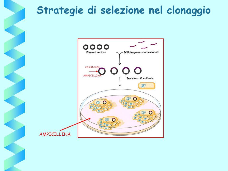Strategie di selezione nel clonaggio AMPICILLINA resistenza