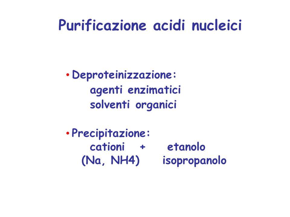 Deproteinizzazione: agenti enzimatici solventi organici Precipitazione: cationi + etanolo (Na, NH4) isopropanolo Purificazione acidi nucleici