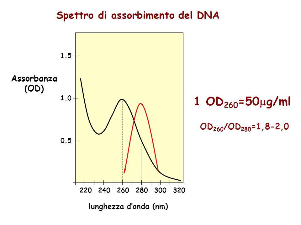 Spettro di assorbimento del DNA 220240260280300320 0.5 1.0 1.5 lunghezza d'onda (nm) Assorbanza (OD) 1 OD 260 =50  g/ml OD 260 /OD 280 =1,8-2,0