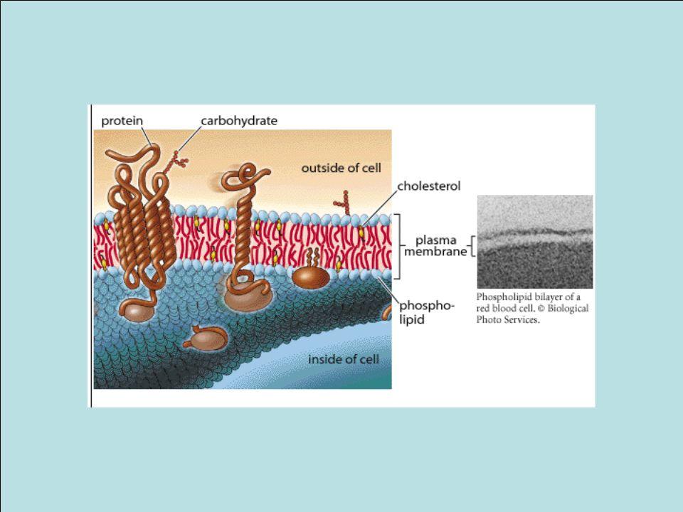 Ogni membrana cellulare ha una faccia esoplasmica e una citosolica
