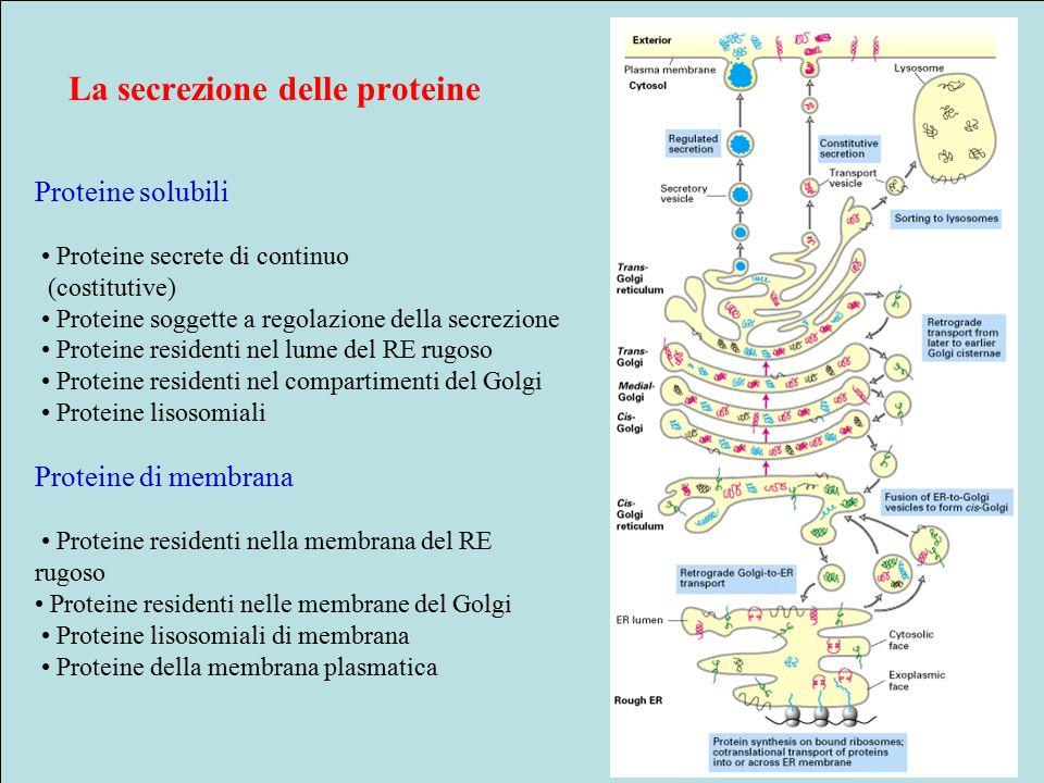 La secrezione delle proteine Proteine solubili Proteine secrete di continuo (costitutive) Proteine soggette a regolazione della secrezione Proteine residenti nel lume del RE rugoso Proteine residenti nel compartimenti del Golgi Proteine lisosomiali Proteine di membrana Proteine residenti nella membrana del RE rugoso Proteine residenti nelle membrane del Golgi Proteine lisosomiali di membrana Proteine della membrana plasmatica
