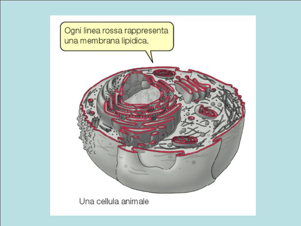 Il reticolo endoplasmico rugoso