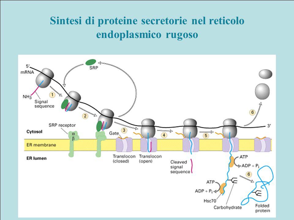 Sintesi di proteine secretorie nel reticolo endoplasmico rugoso