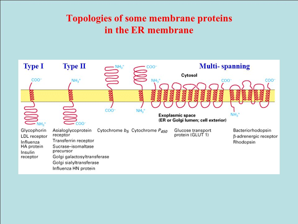 Topologies of some membrane proteins in the ER membrane Type IType IIMulti- spanning