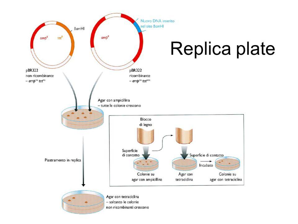 Replica plate