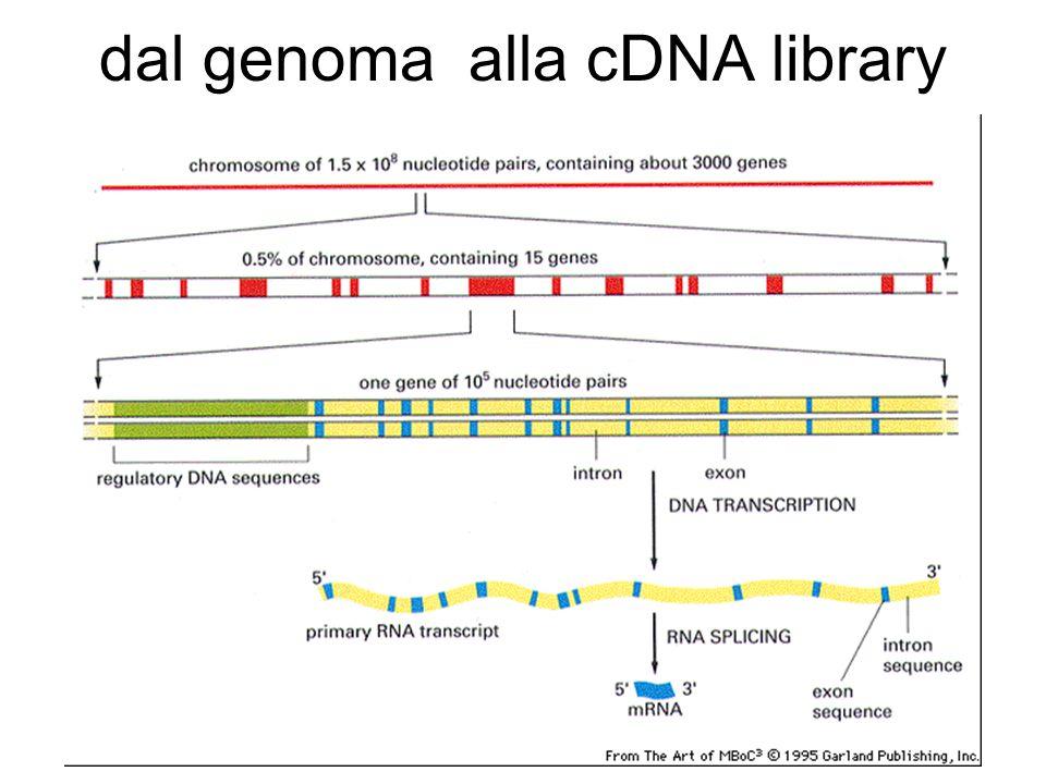 dal genoma alla cDNA library