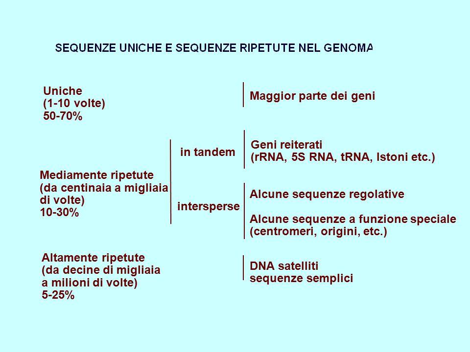 Uniche (1-10 volte) 50-70% Mediamente ripetute (da centinaia a migliaia di volte) 10-30% Altamente ripetute (da decine di migliaia a milioni di volte)