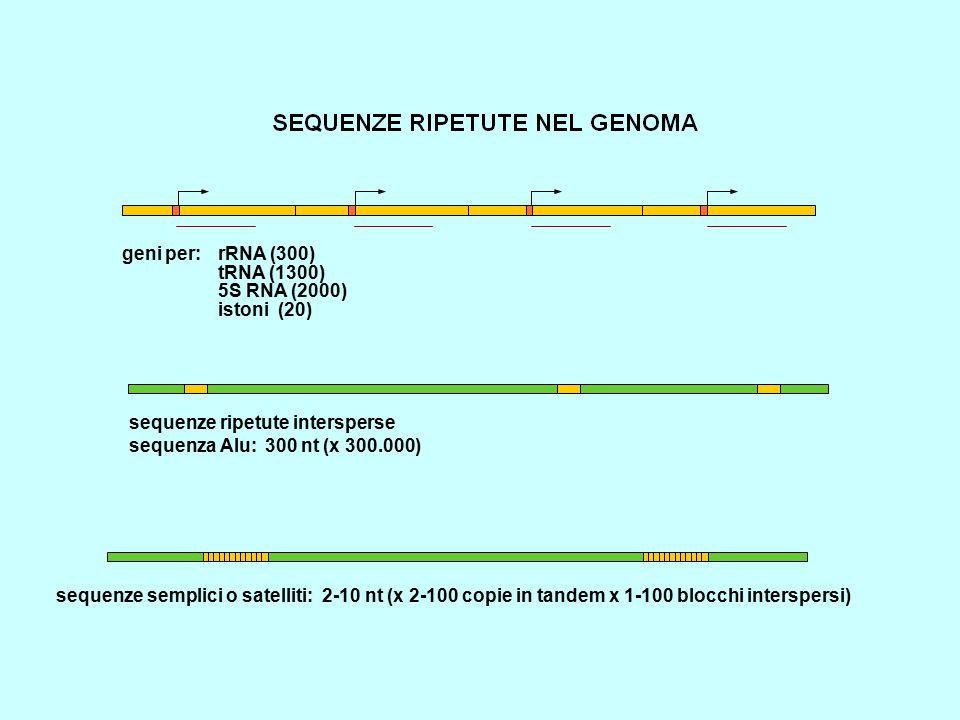 geni per: rRNA (300) tRNA (1300) 5S RNA (2000) istoni (20) sequenze ripetute intersperse sequenza Alu: 300 nt (x 300.000) sequenze semplici o satellit