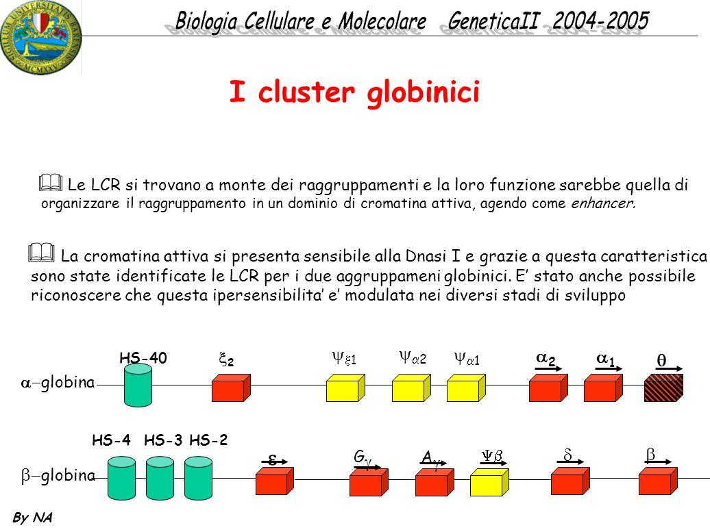 By NA I cluster globinici  Le LCR si trovano a monte dei raggruppamenti e la loro funzione sarebbe quella di organizzare il raggruppamento in un domi