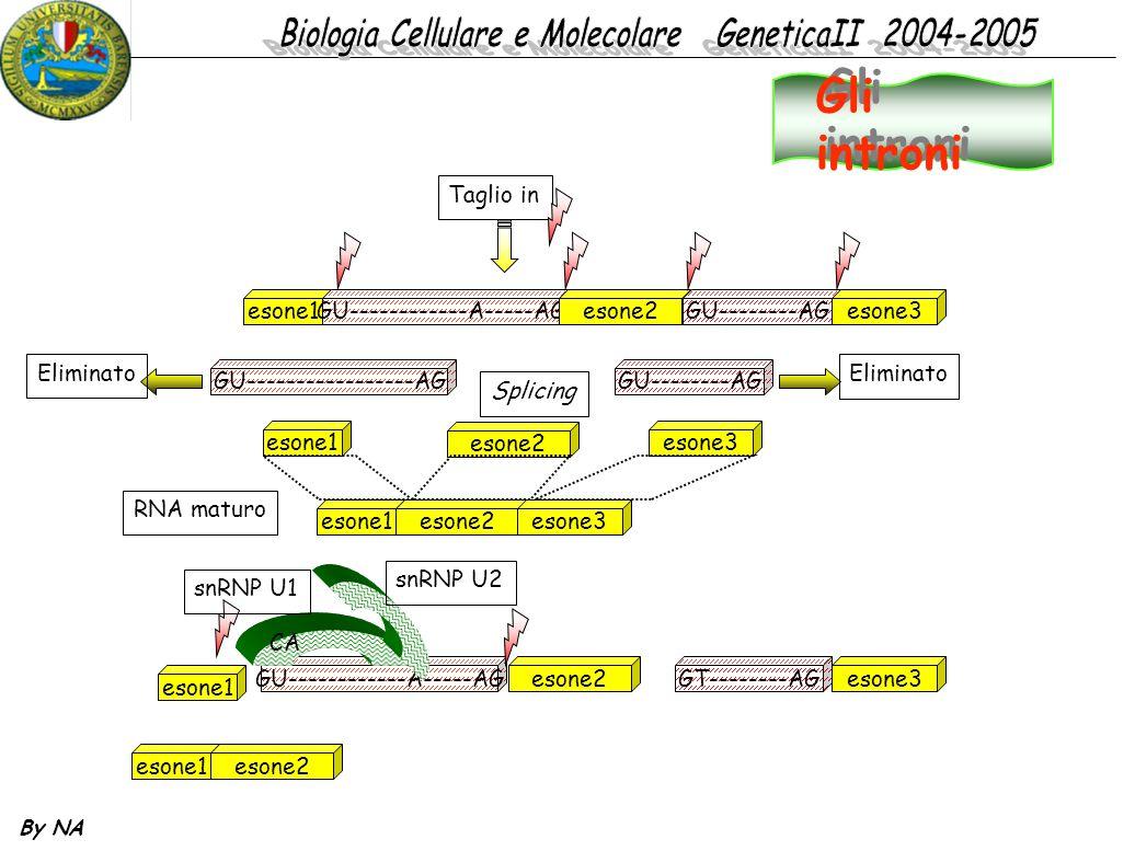 By NA esone1GU------------A-----AGesone2GU--------AGesone3 Taglio in GU-----------------AGGU--------AG Eliminato esone1 esone2 esone3 Splicing esone1e