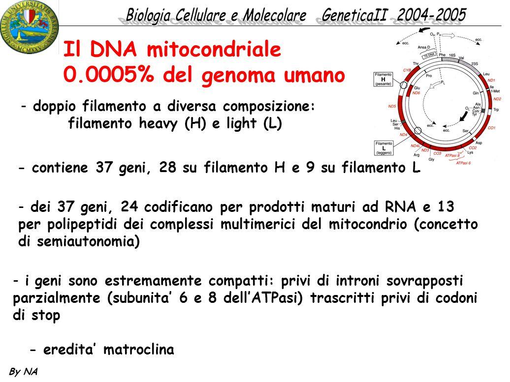 By NA Il DNA mitocondriale 0.0005% del genoma umano - doppio filamento a diversa composizione: filamento heavy (H) e light (L) - eredita' matroclina -