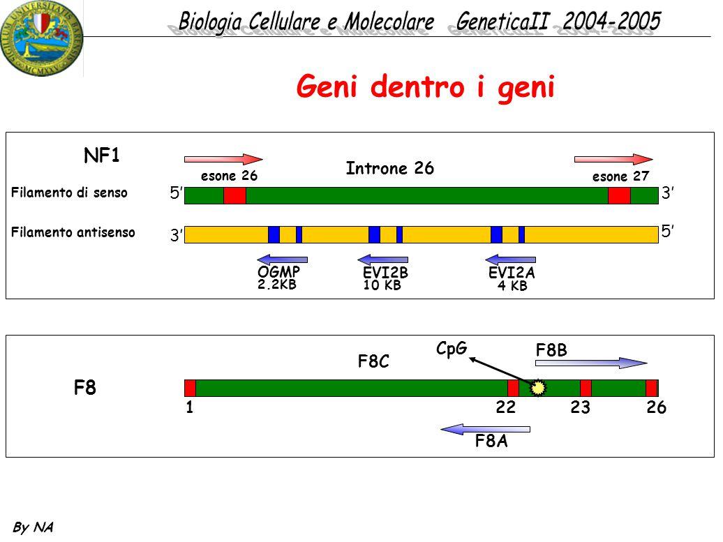 By NA Geni dentro i geni NF1 5'3' esone 26 esone 27 Introne 26 Filamento di senso Filamento antisenso 3' 5' OGMP 2.2KB EVI2B 10 KB EVI2A 4 KB F8 F8B 1