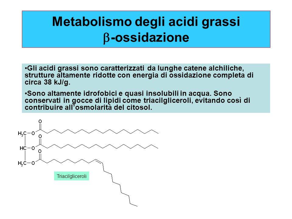 Metabolismo degli acidi grassi  -ossidazione Gli acidi grassi sono caratterizzati da lunghe catene alchiliche, strutture altamente ridotte con energi